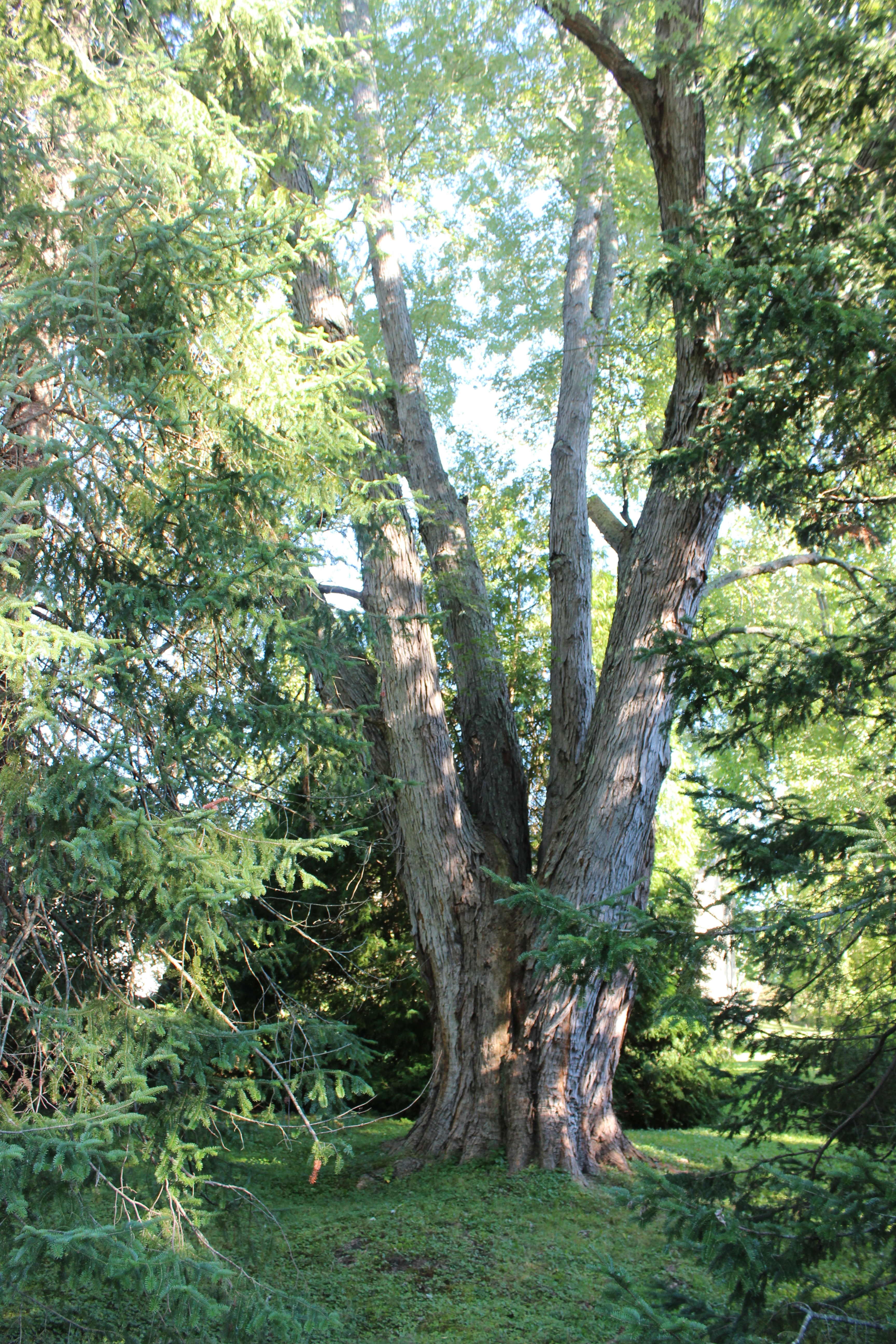 Accurate Tree Removes Scale Topping Silver Maple in NH