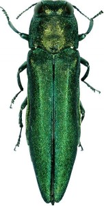 Emerald Ash Borer New Hampshire